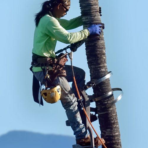Photos---200129-02-Mauna-Lani-trimming-palm-trees